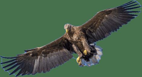 Eagle flying high